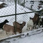 Ziegen im Langenthaler Zoo